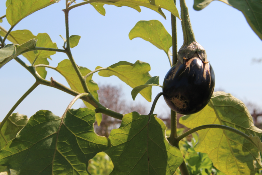 Eggplant+is+one+of+the+many+vegetables+grown+in+Sacred+Heart%27s+garden.%0AGabrielle+Giacomo+%2715