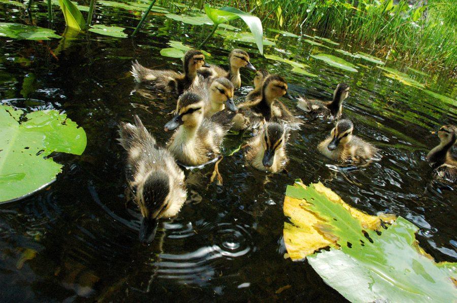 Quack+-+courtesy+of+Mo+Leitner+%2714