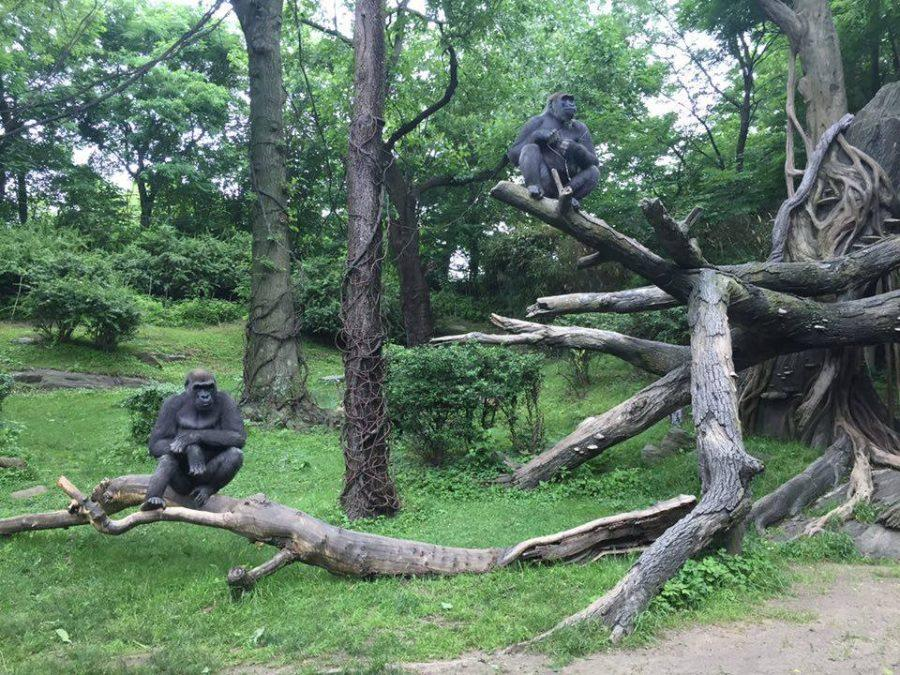 Grace+and+Kelly+plan+to+use+their+research+on+gorillas+to+improve+the+lives+of+animals+in+captivity.%0ACourtesy+of+Grace+Passanante+%2716
