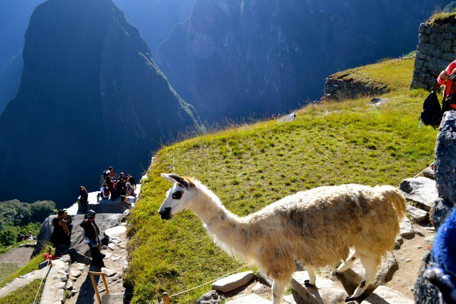 Photo+of+the+week+-+%22+Backpacking+with+Alpacas%22+-+Courtesy+of+Isabella+Caponiti%2716