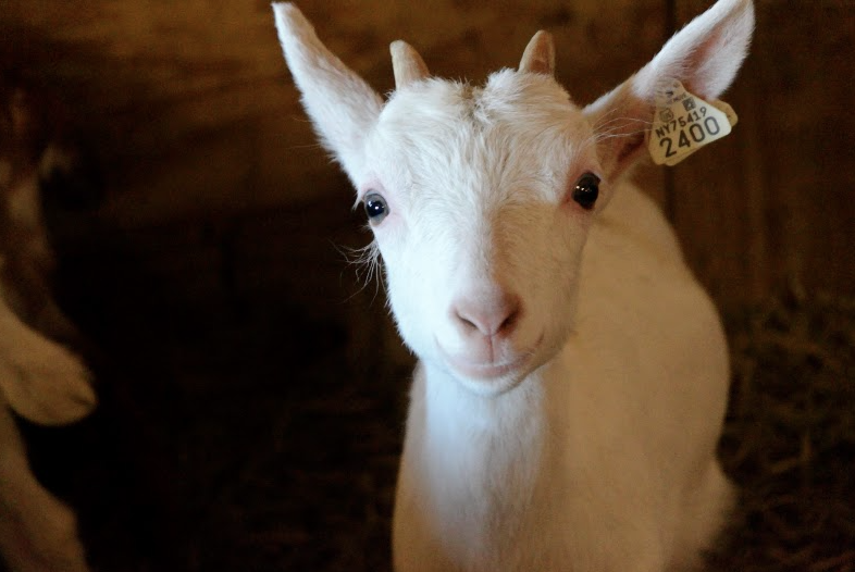 A+baby+goat+poses+for+a+photo+at+Sprout+Creek+Farm.%0ACourtesy+of+Ms.+Kev+Filmore+