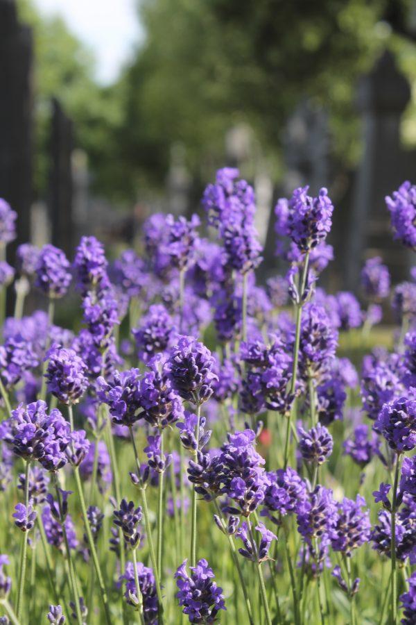 %E2%80%9CLife+in+Lavender%E2%80%9D+%E2%80%93+Courtesy+of+Kendall+Newman+%E2%80%9917
